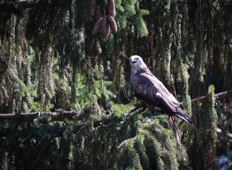 Roofvogels, of roofvogels royalty-vrije stock afbeeldingen
