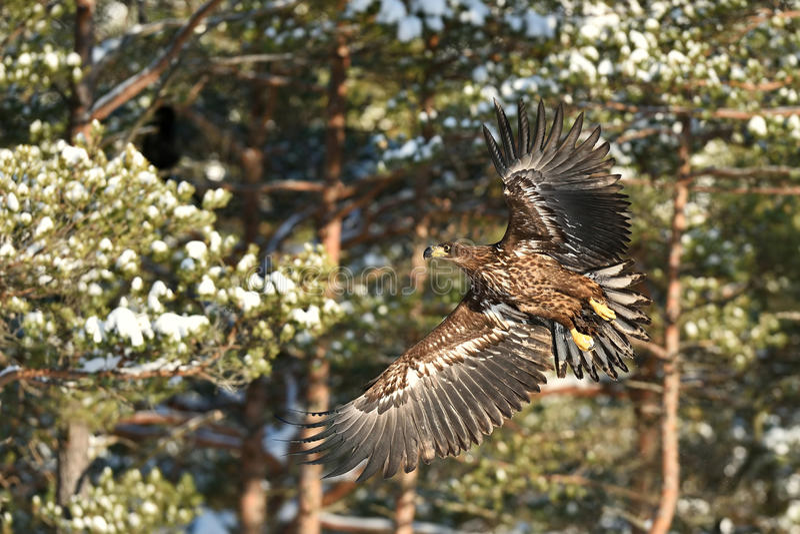 Roofvogels - jonge wit-De steel verwijderde van Eagle Haliaeetus-albicilla tijdens de vlucht stock foto