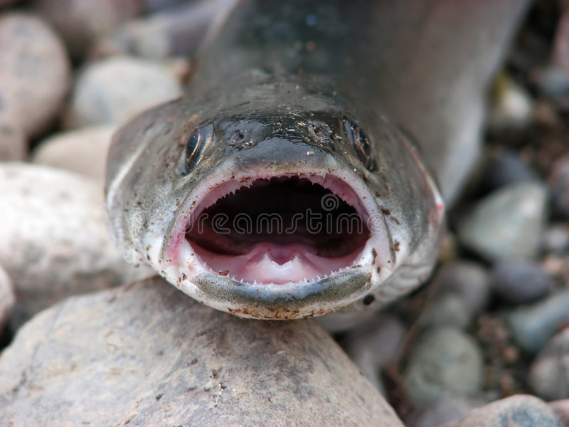 Roofzuchtige vissen op stenen royalty-vrije stock foto
