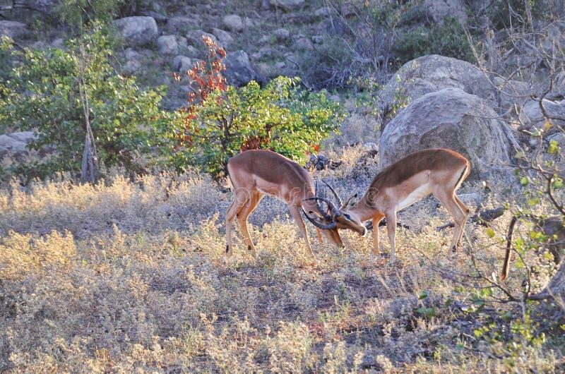 Rooikok baran, Kruger park narodowy, Południowa Afryka zdjęcia royalty free