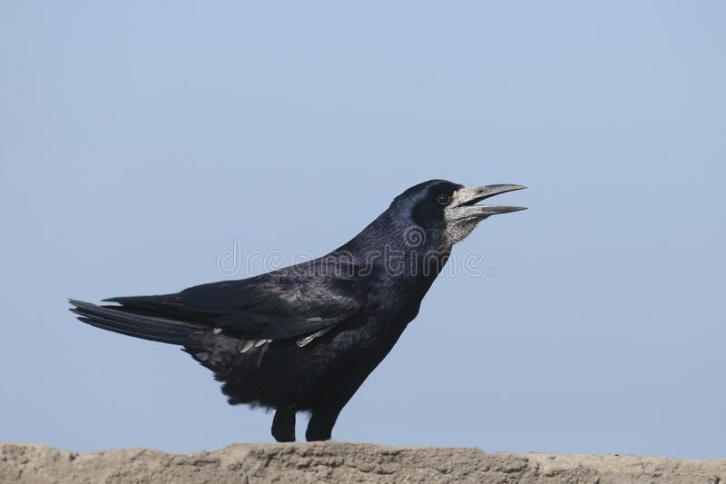 The rook Corvus frugilegus in a breeding plumage. Is sitting on a concrete wall in an unusual pose. Close up portrait stock photography