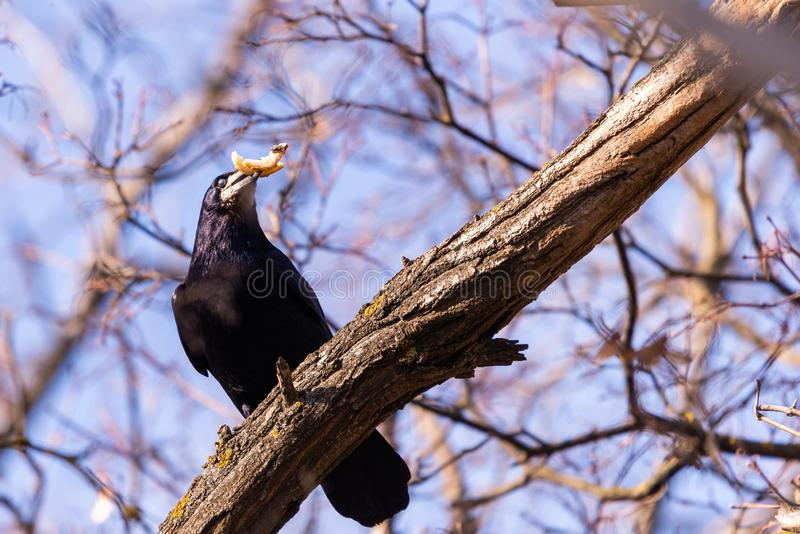The rook or Corvus frugilegus is a member of the family Corvidae in the passerine order of birds royalty free stock images