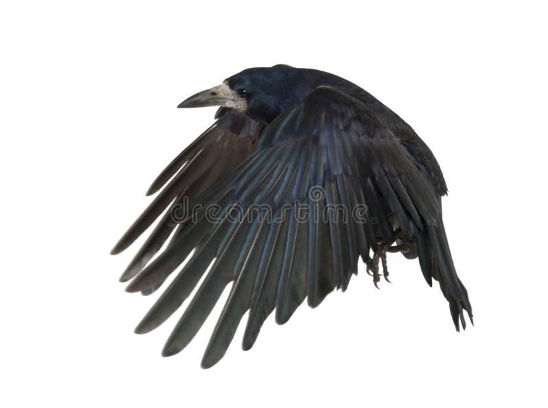 Rook, frugilegus del Corvus, 3 anni immagini stock libere da diritti