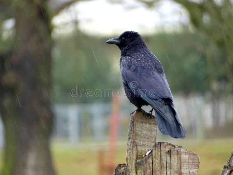 Rook or Jackdaw watching from a stump stock photos