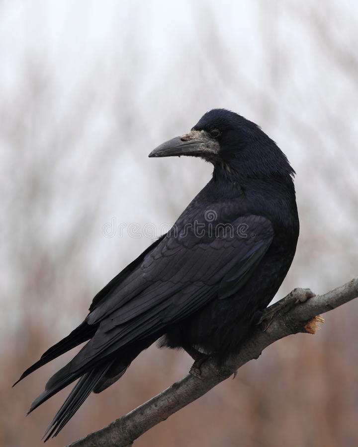 Free Rook On A Dry Branch Stock Image - 22635821