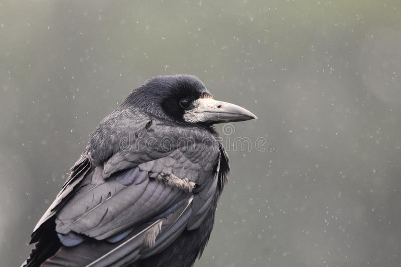 Rook in the rain. A rook bird, part of the crow / raven family, in a rain shower
