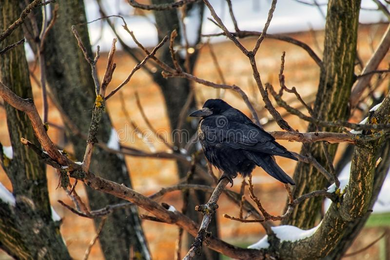 Rook sits on a bare nut branch, sometimes covered with snow. Corvus frugilegus stock image