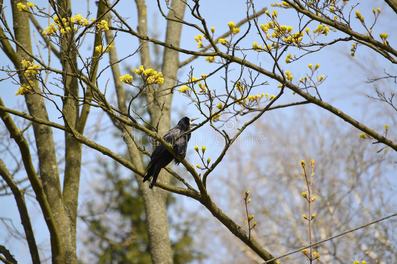 The rook sits on a branch of the blossoming maple with the opened beak. Spring landscape.  royalty free stock photo