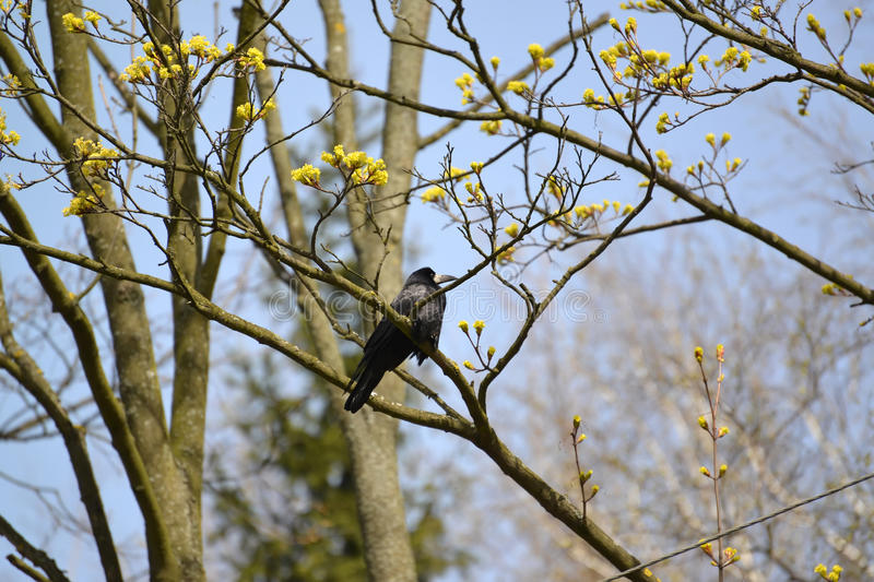 The rook sits on a branch of the blossoming maple. Spring landscape.  royalty free stock image