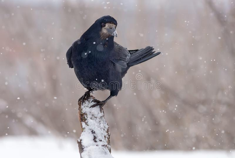 Rook stands on top of a snow covered snag or trunk in snow storm royalty free stock images