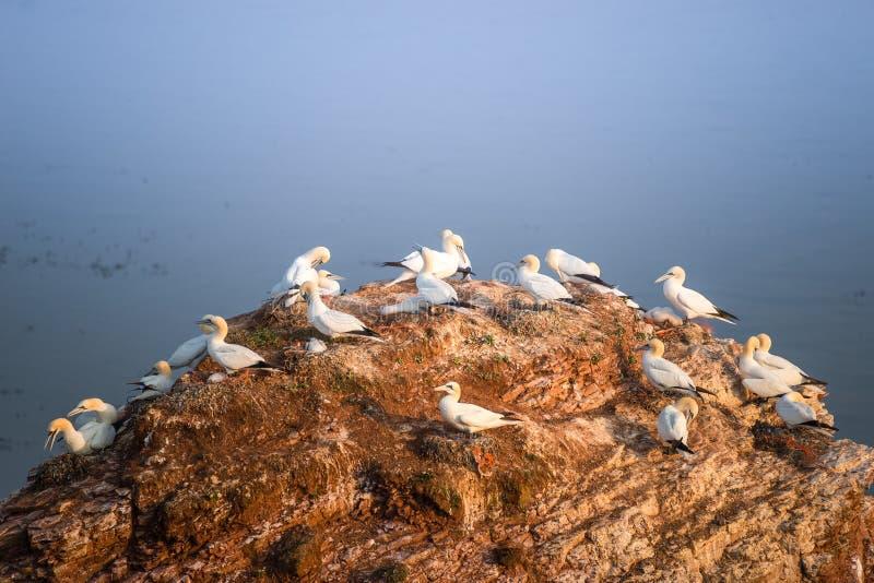 Rookery των άγριων gannets Βόρειου Ατλαντικού στους κόκκινους απότομους βράχους σε Helgolan στοκ φωτογραφία