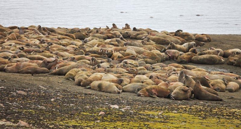 Rookery моржа стоковые изображения rf
