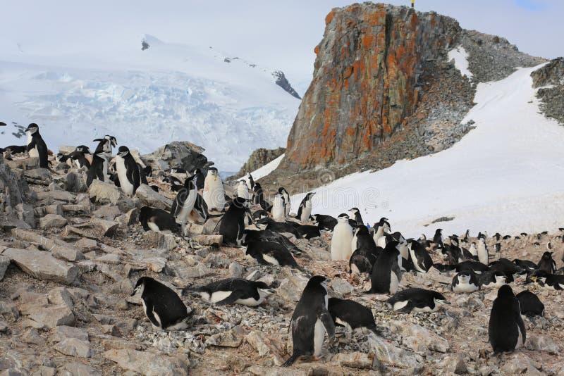 Rookery пингвина Chinstrap в Антарктике стоковые фотографии rf