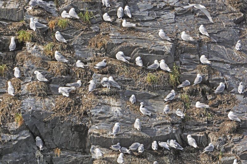 Rookery Kittiwake на скалистой скале стоковая фотография rf