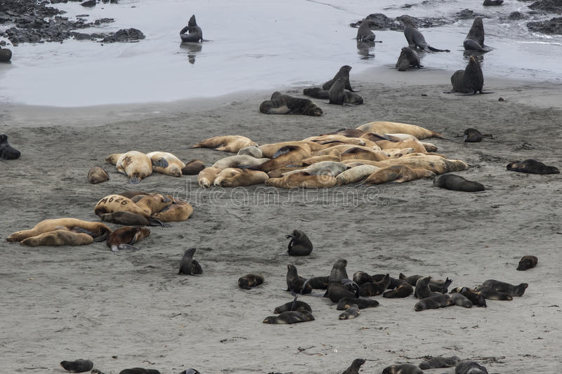Rookery of Steller sea lions and northern fur seals on the beach royalty free stock photography