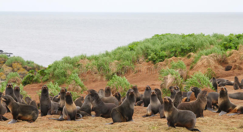 Rookery of young the Sea Bears stock photography