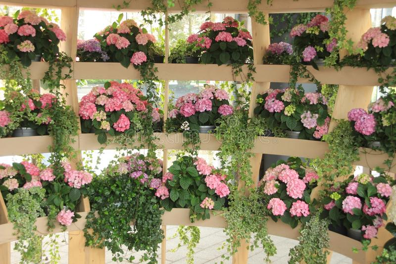 A room with boxes with blooming pink hydrangea in the garden Keukenhof in spring. royalty free stock photography