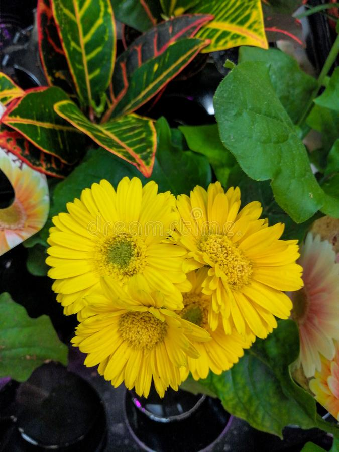 Room flower gerber yellow beautiful several flowers stock photo