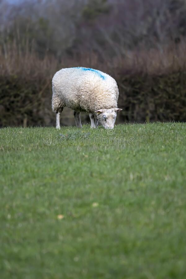 Sheep grazing on grass on Sussex farmland stock image