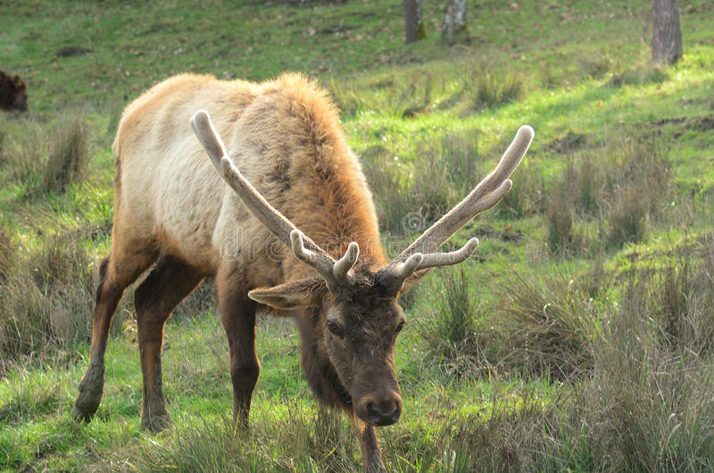 Roosevelt Elk. Roosevelt Bull Elk, Cervus elaphus, at the Dean Creek Elk reserve near Reedsport Oregon royalty free stock image