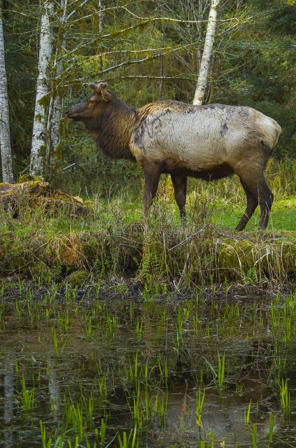 Roosevelt Elk bull Hoh Rain Forest habitat Olympic National Park Washington state. Young male Roosevelt elk in the Hoh rain forest of Olympic National Park stock photos