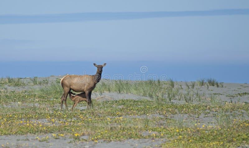 Roosevelt Elk près de l'océan pacifique photographie stock libre de droits