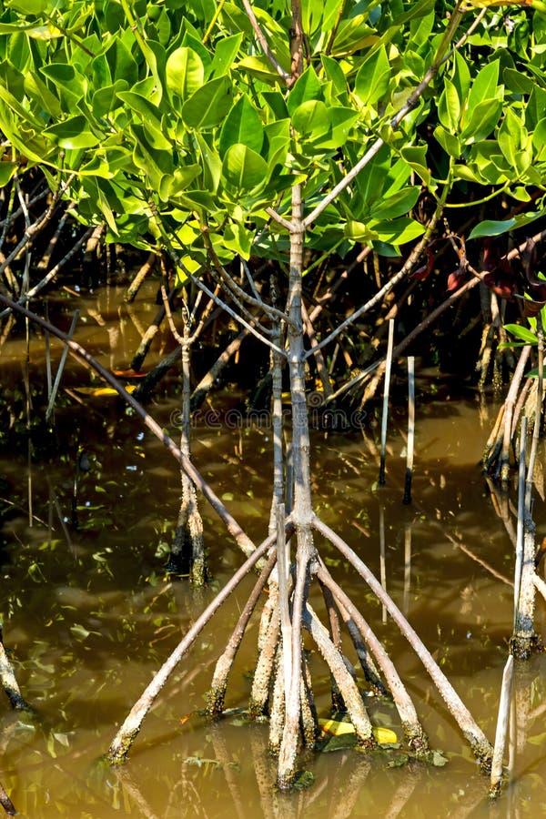 Roost och liten trädmangrove royaltyfri foto