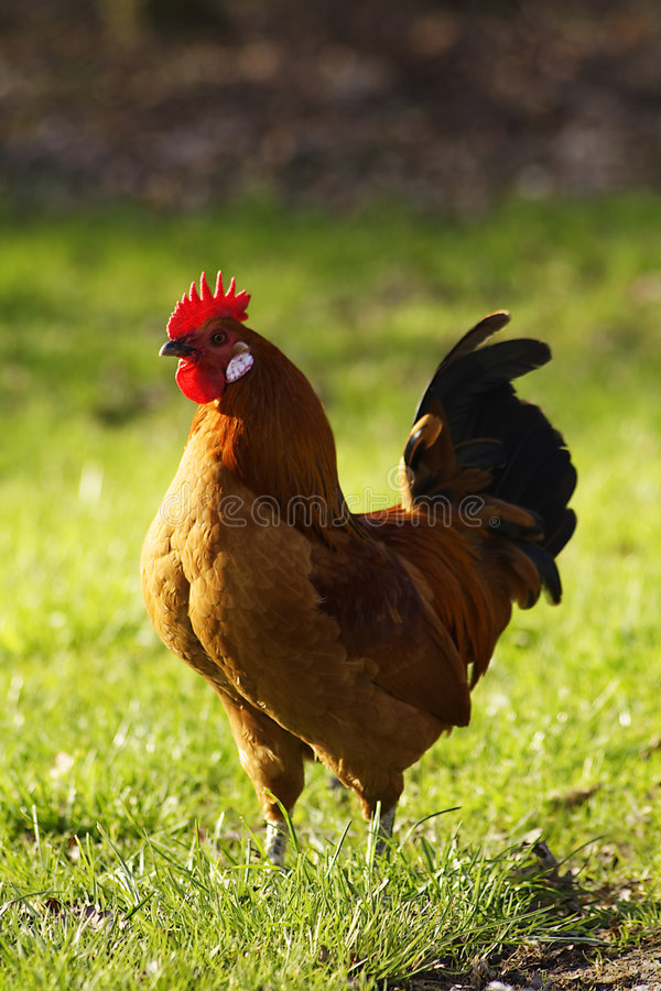 Free Rooster Royalty Free Stock Photo - 2190505