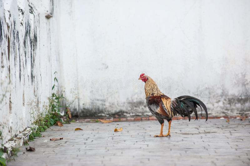 A rooster also known as a cockerel or cock Thai temple. Beautiful colorful male Thai native rooster walking. stock photos