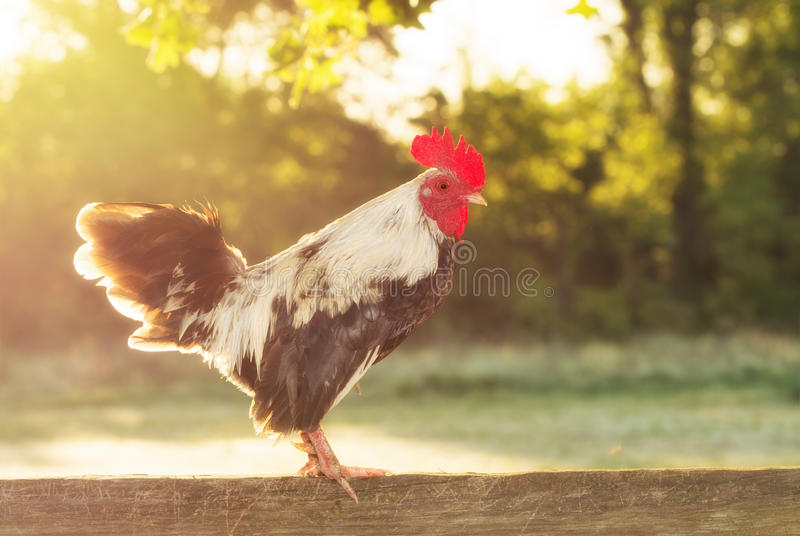 Rooster back lit by rising sun in the morning. With a softening filter royalty free stock photos