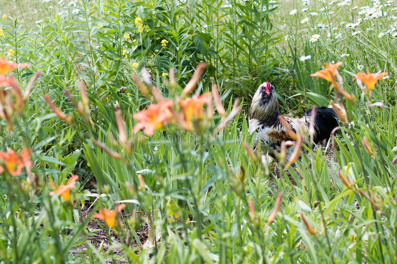 Rooster in bush stock image