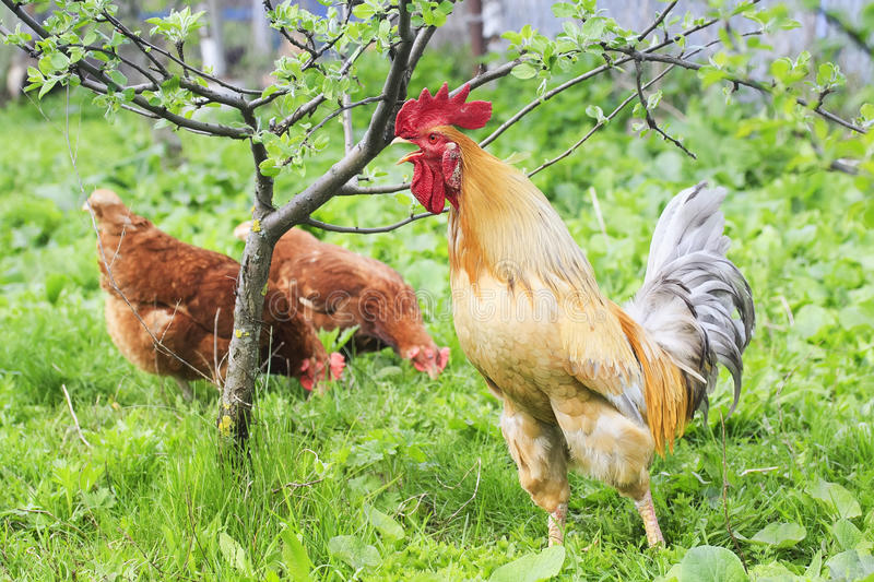 Rooster and chicken walking on green grass on the farm in the summer. Beautiful rooster and chicken walking on green grass on the farm in the summer royalty free stock photo