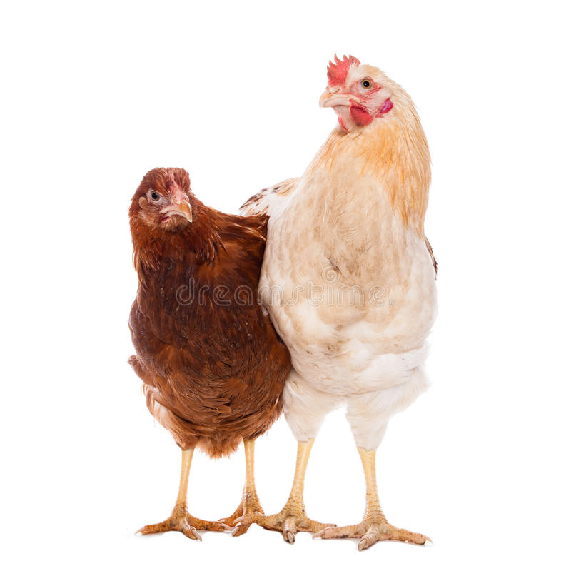 Rooster and chicken stock photography