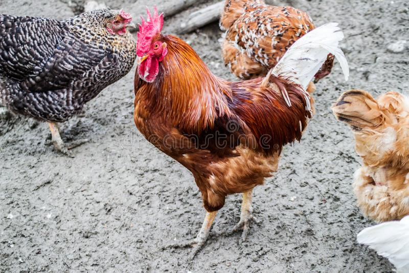 Rooster and Chickens. Free Range Cock and Hens royalty free stock photography