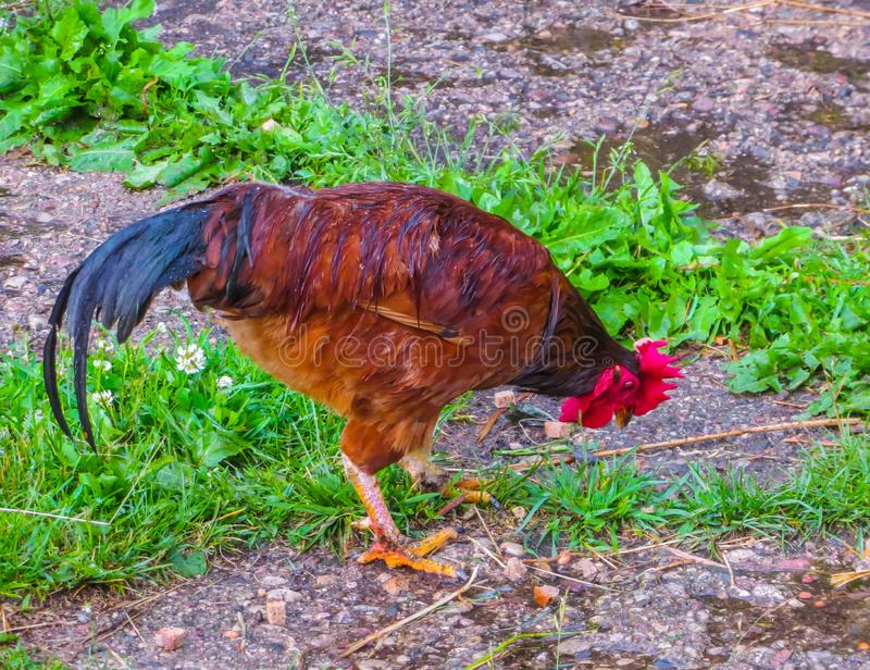A rooster with colored feathers on a glade in the village.  stock photos