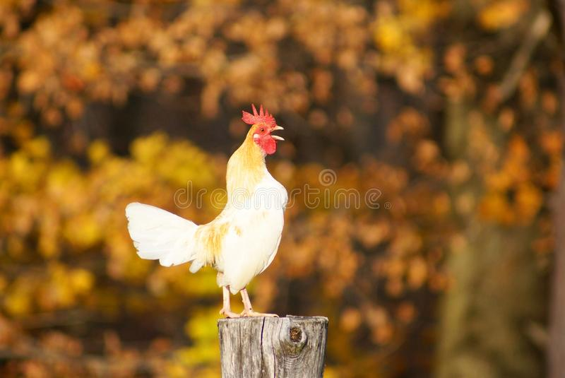 Rooster Crowing on a Fencepost royalty free stock photo