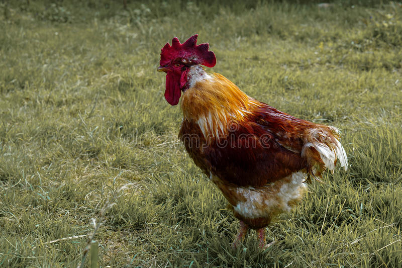 Rooster in the garden. Angry stock photography