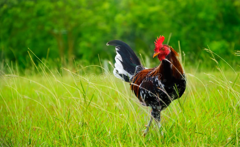 Download Rooster in Hawaii stock photo. Image of summer, green - 32093678