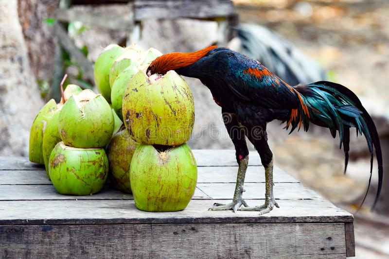 Rooster with head in coconut, dangerous situation. Rooster wants to pick up the coconut fruit from green coconut in tropical region in Asia
