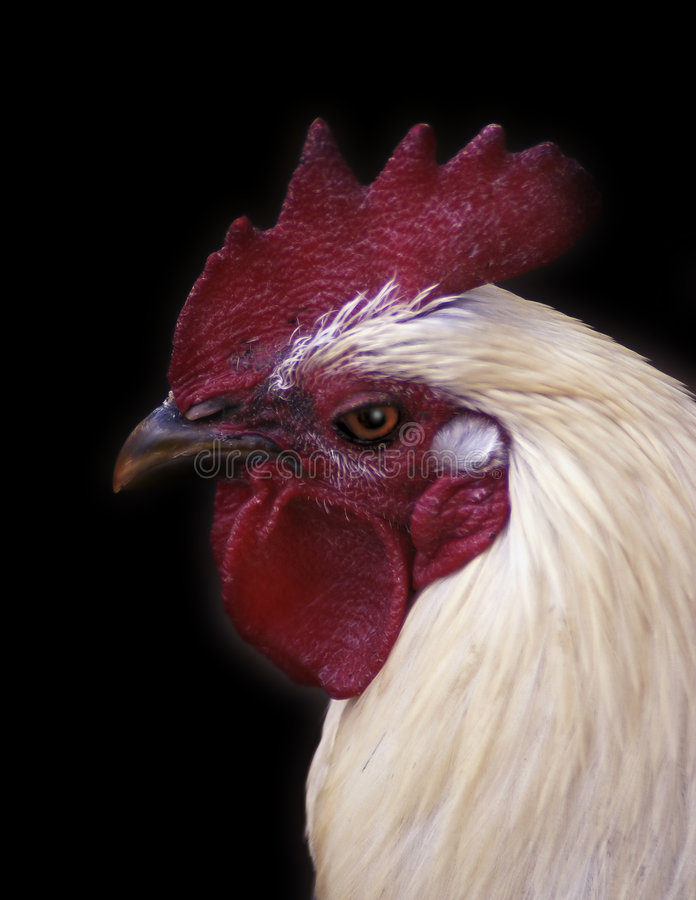 Rooster headshot stock images