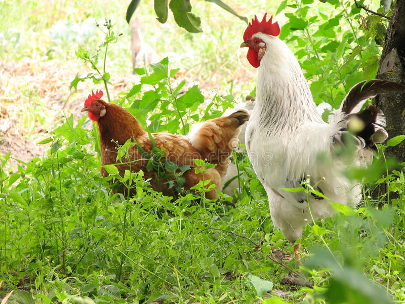 Rooster and hen stock image