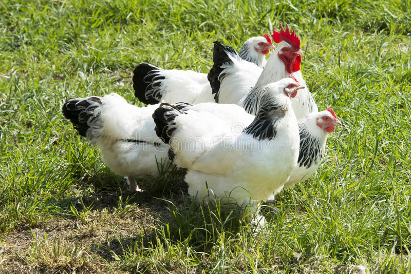 Rooster and hens, beautiful white and black feathered cock and hens in green grass  royalty free stock image