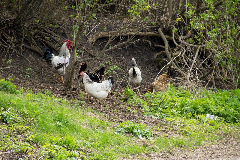 Rooster and hens on natural feed royalty free stock photography