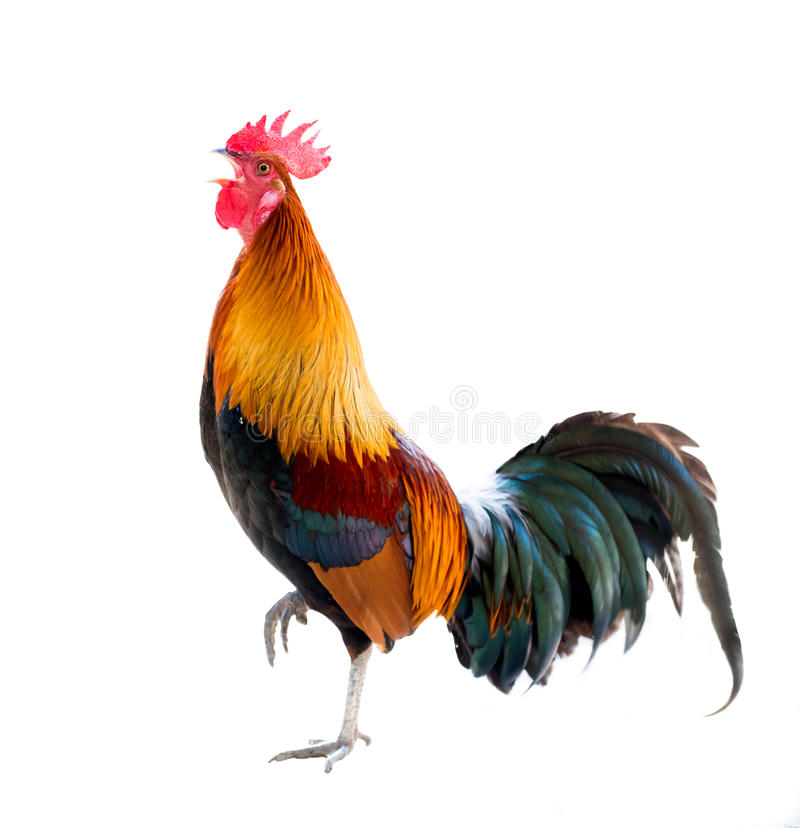 Rooster isolated. Colorful rooster Isolated on white background royalty free stock photography