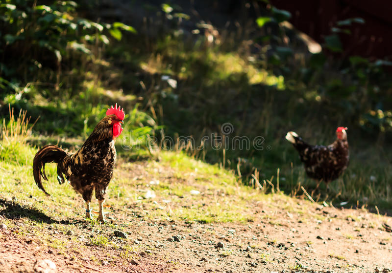 Rooster royalty free stock images