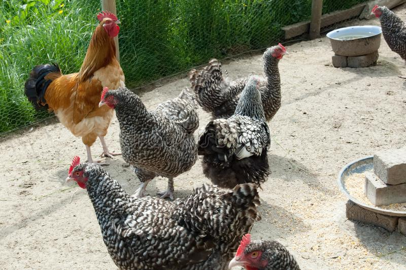 Rooster and hens, colorful cockerel and speckled hens in farmyard royalty free stock images