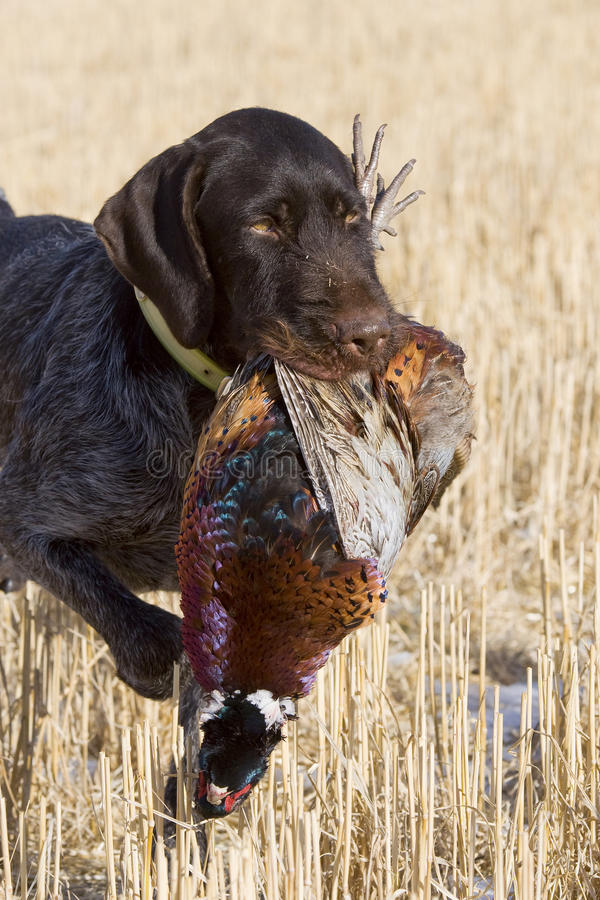 Rooster Pheasant. Being retrieved by a hunting dog stock photography