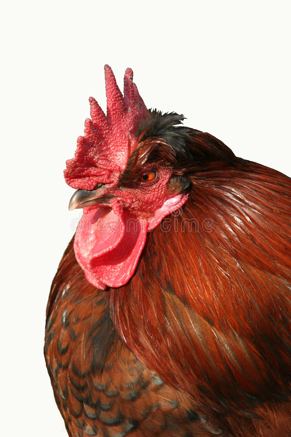 Download Rooster Portrait Stock Photos - Image: 1422203