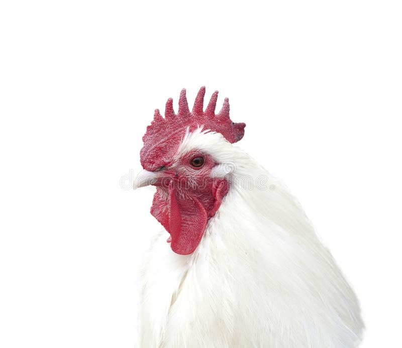 Rooster portrait isolated on white stock images