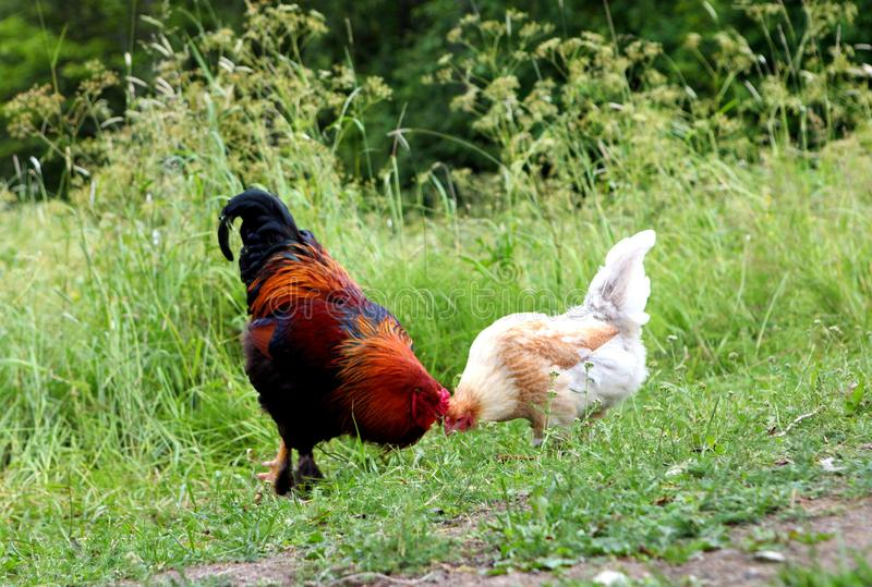 Rooster with red comb and flock of chikens grazing on the ground of village courtyard in summer sunny day stock image